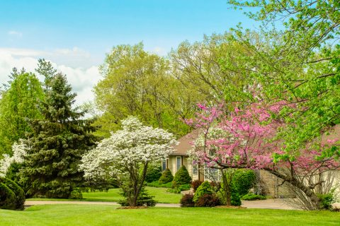 Residential lawn - front yard with blossoming trees