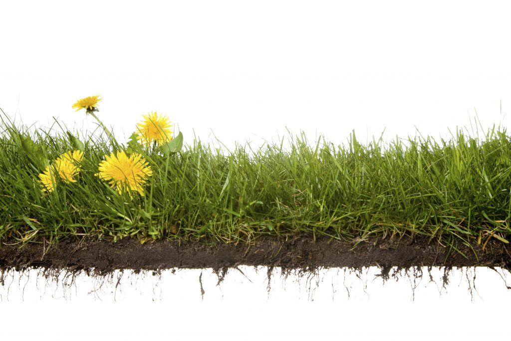 Dandelions in grass and soil